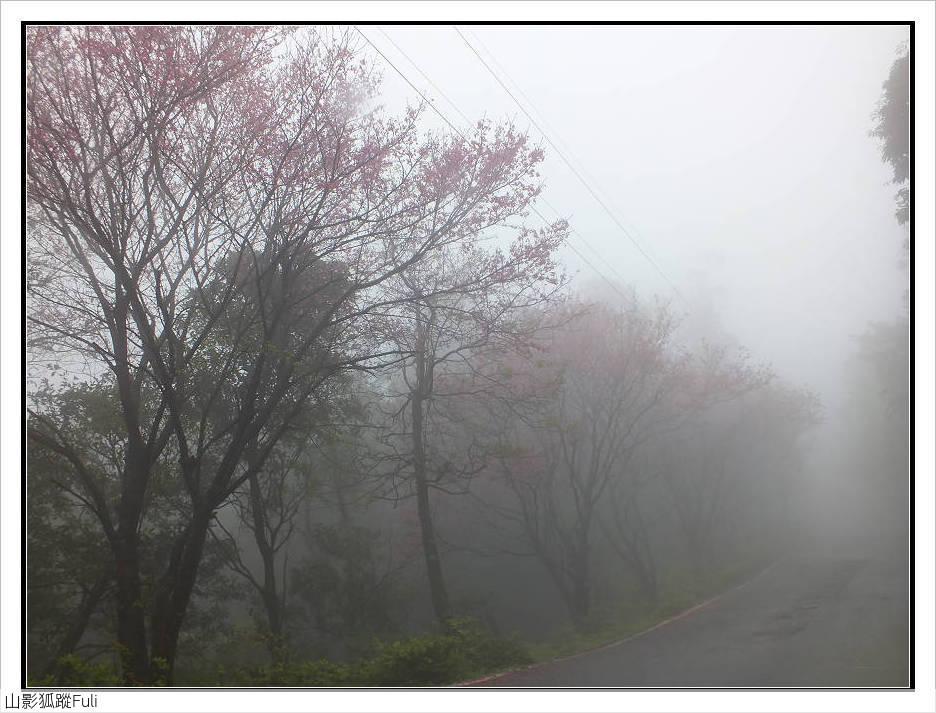 山霧山櫻:山霧櫻花 (28).jpg