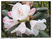 巨齒稜紅星杜鵑花:巨齒稜紅星杜鵑 (46).jpg
