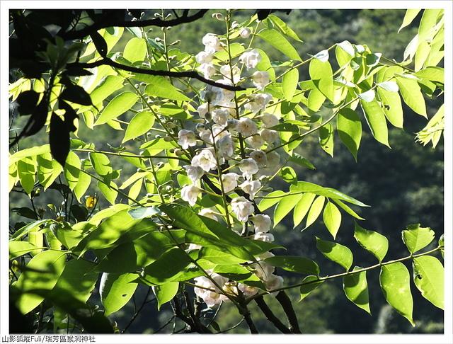 猴洞神社 (46).JPG - 猴洞神社鐘萼木