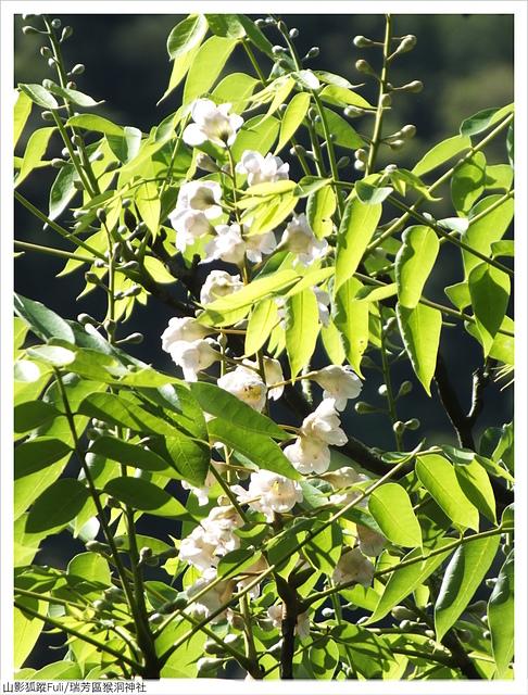 猴洞神社 (51).JPG - 猴洞神社鐘萼木