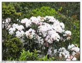 巨齒稜紅星杜鵑花:巨齒稜紅星杜鵑 (44).jpg