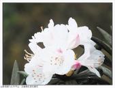 巨齒稜紅星杜鵑花:巨齒稜紅星杜鵑 (45).jpg