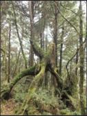 太平山莊、鐵杉林步道、原始森林步道:鐵杉林步道 (15).png