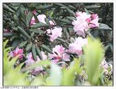 巨齒稜紅星杜鵑花:巨齒稜紅星杜鵑 (53).jpg