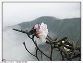 巨齒稜紅星杜鵑花:巨齒稜紅星杜鵑 (61).jpg