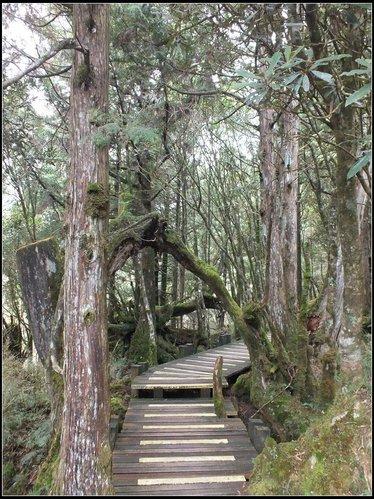 太平山莊、鐵杉林步道、原始森林步道:鐵杉林步道 (13).png