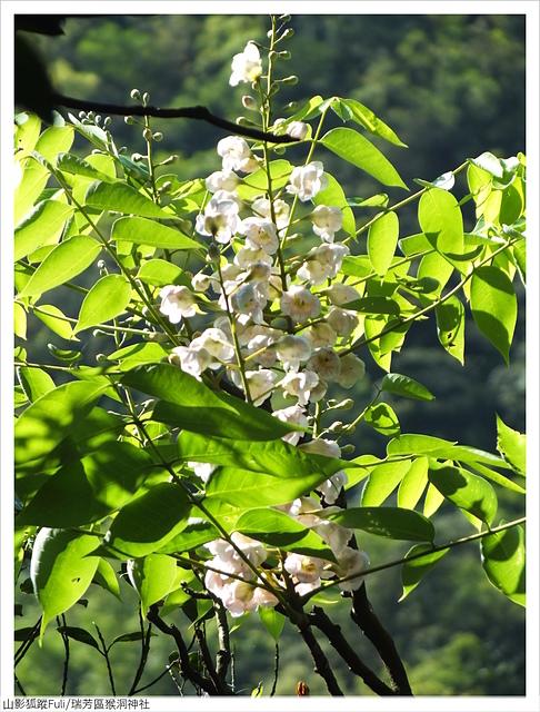 猴洞神社 (50).JPG - 猴洞神社鐘萼木