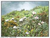 巨齒稜紅星杜鵑花:巨齒稜紅星杜鵑 (65).jpg