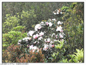 巨齒稜紅星杜鵑花:巨齒稜紅星杜鵑 (78).jpg