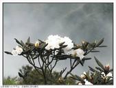 巨齒稜紅星杜鵑花:巨齒稜紅星杜鵑 (81).jpg