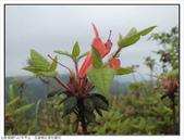 巨齒稜紅星杜鵑花:巨齒稜紅星杜鵑 (19).jpg