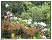 巨齒稜紅星杜鵑花:巨齒稜紅星杜鵑 (51).jpg