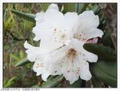 巨齒稜紅星杜鵑花:巨齒稜紅星杜鵑 (55).jpg