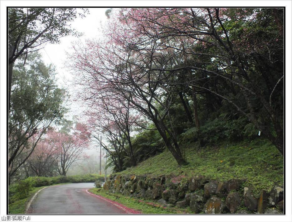 山霧山櫻:山霧櫻花 (21).jpg