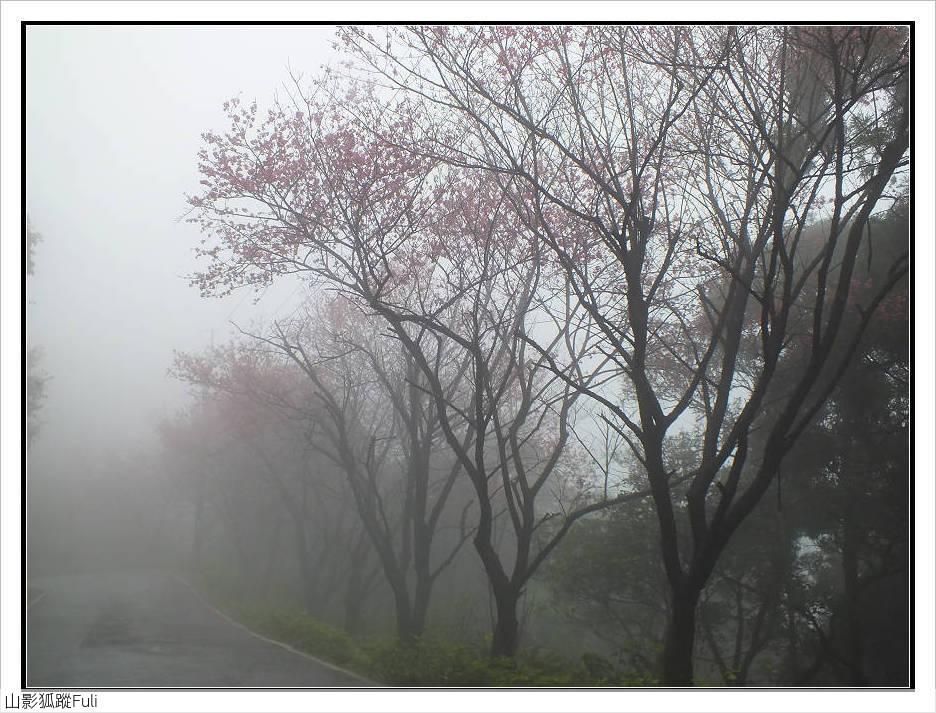 山霧山櫻:山霧櫻花 (26).jpg