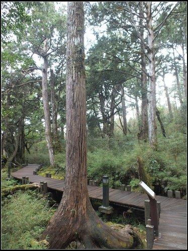 太平山莊、鐵杉林步道、原始森林步道:鐵杉林步道 (5).jpg