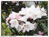 巨齒稜紅星杜鵑花:巨齒稜紅星杜鵑 (90).jpg