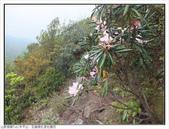巨齒稜紅星杜鵑花:巨齒稜紅星杜鵑 (91).jpg