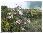 巨齒稜紅星杜鵑花:巨齒稜紅星杜鵑 (66).jpg