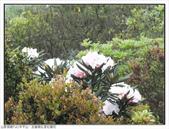 巨齒稜紅星杜鵑花:巨齒稜紅星杜鵑 (71).jpg