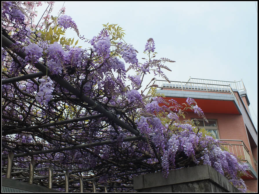 東方寺吉野櫻:紫藤花 (1).jpg