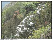 巨齒稜紅星杜鵑花:巨齒稜紅星杜鵑 (76).jpg