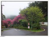 山霧山櫻:山霧櫻花 (18).jpg