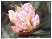 巨齒稜紅星杜鵑花:巨齒稜紅星杜鵑 (50).jpg