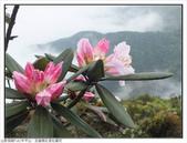 巨齒稜紅星杜鵑花:巨齒稜紅星杜鵑 (70).jpg