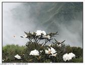 巨齒稜紅星杜鵑花:巨齒稜紅星杜鵑 (80).jpg