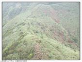 巨齒稜紅星杜鵑花:巨齒稜紅星杜鵑 (105).jpg