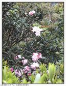 巨齒稜紅星杜鵑花:巨齒稜紅星杜鵑 (52).jpg