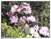 巨齒稜紅星杜鵑花:巨齒稜紅星杜鵑 (48).jpg