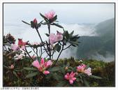 巨齒稜紅星杜鵑花:巨齒稜紅星杜鵑 (67).jpg