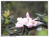 巨齒稜紅星杜鵑花:巨齒稜紅星杜鵑 (54).jpg