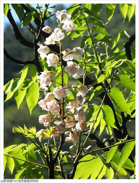 猴洞神社 (49).JPG - 猴洞神社鐘萼木