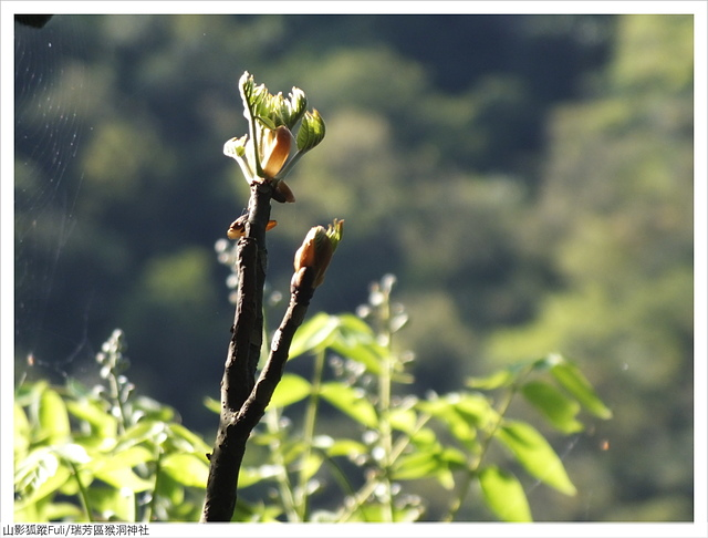 猴洞神社 (53).JPG - 猴洞神社鐘萼木