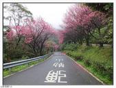 山霧山櫻:山霧櫻花 (16).jpg