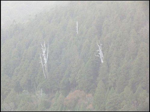 太平山莊、鐵杉林步道、原始森林步道:鐵杉林步道 (18).png