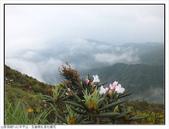 巨齒稜紅星杜鵑花:巨齒稜紅星杜鵑 (96).jpg
