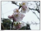 山霧山櫻:山霧櫻花 (44).jpg