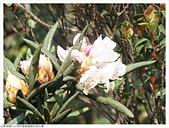 鋸齒稜紅星杜鵑:鋸齒稜杜鵑 (17).JPG