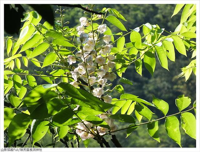 猴洞神社 (48).JPG - 猴洞神社鐘萼木