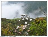 巨齒稜紅星杜鵑花:巨齒稜紅星杜鵑 (77).jpg