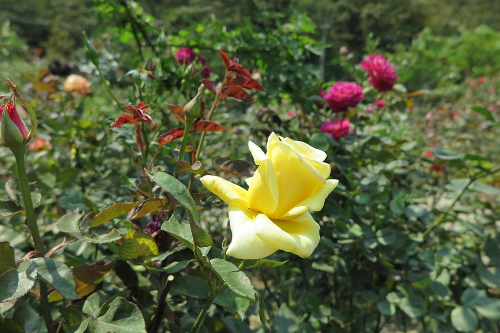 12.JPG - 大溪玫瑰山谷