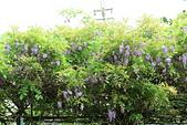 鄉村阿勃勒、紫藤花開。:13.JPG