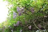 鄉村阿勃勒、紫藤花開。:9.JPG