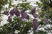 鄉村阿勃勒、紫藤花開。:20.JPG