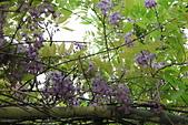 鄉村阿勃勒、紫藤花開。:10.JPG