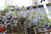 鄉村阿勃勒、紫藤花開。:4.JPG